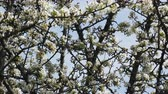 sopro : Apple orchard. Apple trees in bloom indicate height of spring Stock Footage