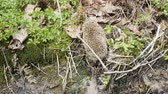 europaeus : Vigorous hedgehog easily crosses forest stream.