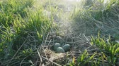 escotilha : Black-headed gull (Larus ridibundus) nest with three eggs. Noise bird colony. Guide bird nests Vídeos