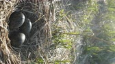 nascimento : vertical video. black-headed gull (Larus ridibundus) nest with three eggs, noise of colony of gulls Stock Footage