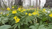 дуб : Spring. Anemone yellow (Anemone ranunculoides) bed in oak-wood (broadleaved woodland), low camera position