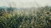 springtide : Charm of grass with dew at sunrise. Natural therapy. Eternal values concept