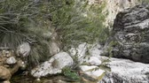 brook : Canyon. Camera moves in narrow canyon of Creek. Bushes of  wood myrtle (Myrtus communis), symbol of silence