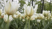 decorador : Lush white tulips on flowerbed of big city. Bottom view and side view of many flowers