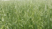 high quality : Ripening oats (oat field), bright green, fresh after rain. High-quality oats as basis for healthy food, English oatmeal Stock Footage