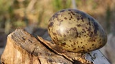 утка : Guide to bird nests. Egg of  black-headed gull (Larus ridibundus) are green spotted, protective coloration, as nest is open, background of beaver gnawed tree