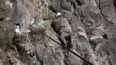 rookery : One of northernmost colonies of sea birds on Franz Josef Land near North Pole. Plot rookery with nests of Kittiwakes, birds voices
