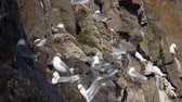 rookery : One of northernmost colonies of sea birds on Franz Josef Land near North Pole. Plot rookery, nests of Kittiwakes under waterfall