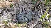 üreme : Nest guide. Common terns nest made of dry sedge on meadow island. Three speckled eggs. Close up Stok Video