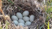 vysedět : Nest guide. Mallards nest (wild population) among dry sedge with black fluff and 8 white eggs. Close-up Dostupné videozáznamy
