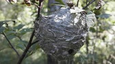 hornets : Round nest of paper wasp (Vespula) on branch, closeup