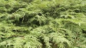 fir : Chinese arborvitae,  Platycladus -  evergreen tree, cypress family, branches are layered. Symbol of longevity in Buddhism