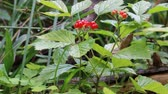 perennial : Stone bramble (Rubus saxatilis) in the middle of summer with red berries. Edge of forest, around sorrel, cereals. Plant prefers moist forests, spruce forest