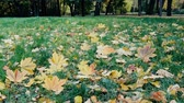 herb : Autumn arrived in city, urban nature. First yellow leaves in square, public garden. Fallen leaves and grass in raindrops. Walk in Park, autumn mood. Cars and passers-by in background