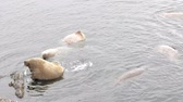tusks : Atlantic walruses (Odobenus rosmarus rosmarus) sailed from Arctic ocean to Arctic Islands (Vaigach) and relax in water