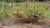 ель : Afforestation. Young firs planted (regrowth) on plot with sandy soil,  spruce undergrowth. Small trees in summer