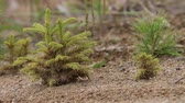 скотч : Afforestation. Young spruce and pine  regrowth grew on plot with sandy soil. Small trees in summer. Summer nature grass Стоковые видеозаписи
