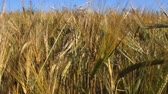 hozam : Field of barley and ears of grain. A rich harvest of barley. The cultivation of crops