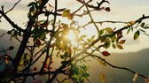 thorns : Autumn. Cold sunset. Wild rose Bush with fruit shaking in wind