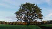 espalhando : Lonely young spreading  oak on lawn of old estate. English Park Stock Footage