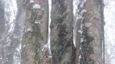 реликвия : Snowfall in the sub-tropical deciduous forest. Tree trunks covered with moss and wet with snow, build up of snow. Black sea coast of Caucasus