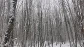 wintertime : Snowfall in the sub-tropical deciduous forest. Tree trunks covered with ivy. Black sea coast of Caucasus Stock Footage