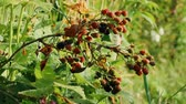 brushwood : Branch of Black Berry. Berries blackberries ripen gradually, maturing red and black ripe Stock Footage
