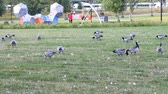 gęś : Helsinki , Finland - August 20, 2017: Wild geese, Barnacle geese inhabit lawns in city center - prohibition of hunting and persecution Wideo