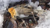 Insectivorous birds have died during cold periods when there is no mass food. This Robin (Erithacus rubecola) is dead in winter in subtropics during snowfall
