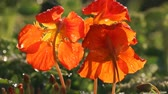florescence : Bright red Indian cress (nasturtiums, Tropaeolum) at sunset backlit. Flower petals in dew after summer rain, garden flowers. Nasturtium note, red petals, richness of colour, chromaticity flicker Stock Footage