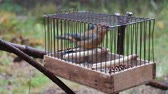 Birdcatching (fowling) as most ancient human occupation (for male only). Fowler holds cage with crossbill (Loxia curvirostra, singing male). Such small cages are used for decoy bird