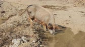 Pig with pleasure of digging in puddle and found food chomps. Very graceful gait of pig-females, she-hog. Asian pigs live in freedom Stok Video