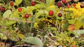 Wild Strawberries in June, ripe and overripe berries. Strawberries in forest-steppe on background of steppe vegetation and golden moss Stok Video