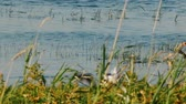Black-headed gulls fighting over small fish on lake. Summer nature, natural scene of everyday life, fish-eating birds