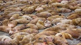 make sleep : Life Atlantic walruses at haul out sites is (at most) of sleep and small conflicts with neighbors. Make sleep, not war (sea hippie).
