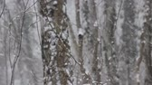 реликвия : Winter deciduous forest on shore of the Black sea. European hornbeam (Carpinus betulus), hornbeam-wood, sleet (wet snowfall), snow smothered trails, snow never ceased falling, blizzard Стоковые видеозаписи