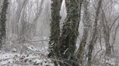 реликвия : Winter deciduous forest on shore of the Black sea. European hornbeam (Carpinus betulus), hornbeam-wood, Trees covered with epiphytes, lianas (ivy, vine) and sleet (snowfall). Abkhazia. Стоковые видеозаписи