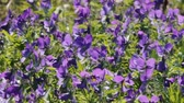 ajans : Marine violet strikes unusual blue. Midsummer, summer flowers. Blue marine violet (Viola odorata maritima). Seaside meadows. Filming against sun