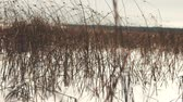ling : Frozen and snow covered pond. Reeds lake, great bulrush (Scirpus lacustris) in winter, phreatophyte, swamp vegetation