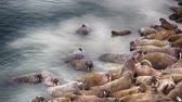 vadállat : Life Atlantic walruses at haul out sites is (at most) of sleep and small conflicts with neighbors. Make sleep, not war (sea hippie).