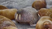 бивень : Life Atlantic walruses at haul out sites is (at most) of sleep and small conflicts with neighbors. Make sleep, not war (sea hippie).