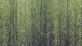 flushing : Pleasing man spring. Young bright green leaves blossomed on trees, leaf flushing, foliage expansion. Green wall of birch forest, verdure; greenth Stock Footage