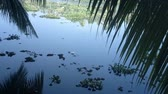 In jungles of India. Palm leaves hanging over pond which is overgrown with Salvinia. Swamps in South of India Stok Video