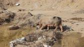 brute : Pig with pleasure of digging in puddle and found food chomps, Asian pigs live in freedom, she-hog, breeding sow