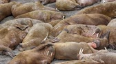 Life Atlantic walruses at haul out sites is (at most) of sleep and small conflicts with neighbors. Make sleep, not war (sea hippie).