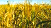 Dense ripe bread crops, heads. Good harvest. Full grain ears of barley, grain farming, grain growing