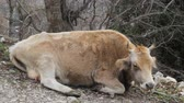 Young cow, heifer beige suit lies on hillside and chewing, cud-chewing animal, grazing animal, horned cattle. Caucasus