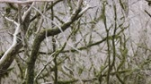 реликвия : Subtropical forest in winter. Bare branches rereview with moss and without moss woven in pattern, bower, interweaving of branches Стоковые видеозаписи