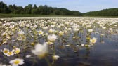 lake is covered with white water blooming plants crowfoot (Ranunculus aquatilis) . Filming over water in course of boat Stok Video