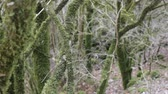 Area of subtropical rain forest in winter. Boxwood Colchis (Buxus colchica) covered with epiphytes and mosses Stok Video